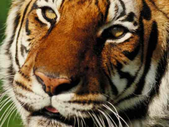 tiger-cu