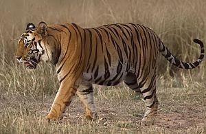 tiger300