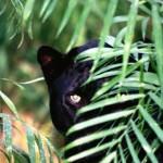 mystery-big-cat