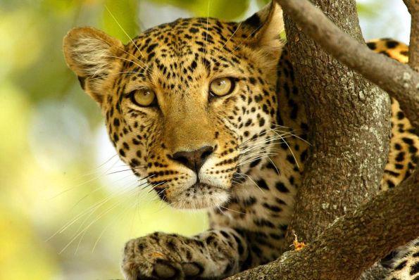 Back Yard Leopards