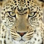 leopard-close-up