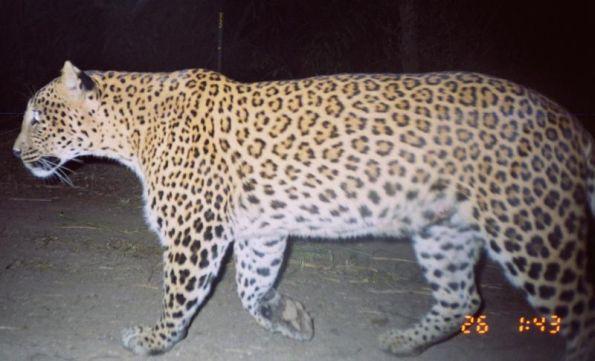 leopard-india-night-camera