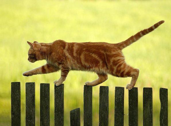 fence-ginger