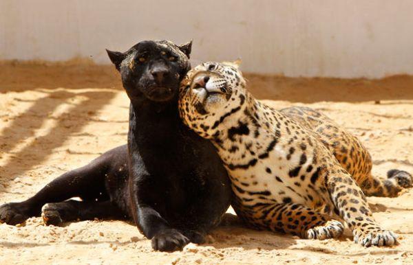 jaguar-pals