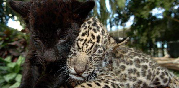 jaguars-cubs