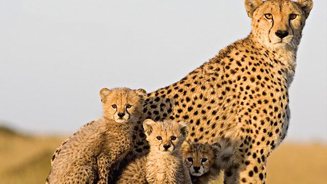 Cheetah Family in danger of becoming fir coats