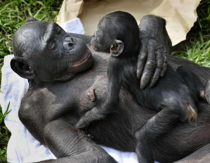 mothers-day-bonobo