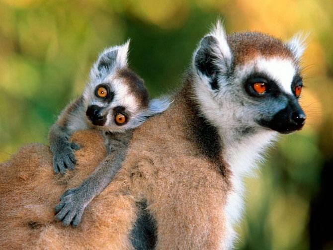 mothers-day-meerkat